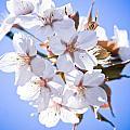 Cherry Tree Blossoms Close Up by Raimond Klavins