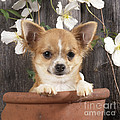 Chihuahua Dog In Flowerpot by John Daniels