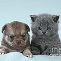 Chihuahua Puppy And British Shorthair by John Daniels