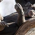 Chimpanzee by Brandon Alms
