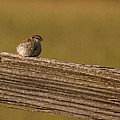 Chipping Sparrow by Scott Bush