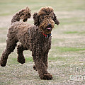 Chocolate Labradoodle Running In Field by John Daniels