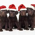 Chocolate Labrador Puppies by John Daniels