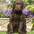 Chocolate Labrador Puppy by Jean-Michel Labat