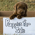 Chocolate Labrador Puppy by Linda Freshwaters Arndt