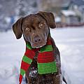 Chocolate Labrador Retriever by Rolf Kopfle