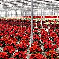 Christmas Poinsettia's. by Carol Toepke