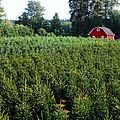Christmas Tree Farm by David Lee Thompson