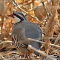 Chukar Partridge by Roxie Crouch