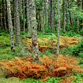 Cinnamon Ferns And Red Spruce Trees by Panoramic Images