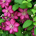 Clematis by Penny Lisowski