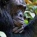 Close-up Of A Chimpanzee Pan by Panoramic Images