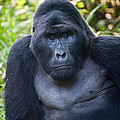 Close-up Of A Mountain Gorilla Gorilla by Panoramic Images