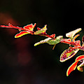 Close Up Of Berberis  Quebec, Canada by Yves Marcoux