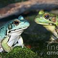 Close-up Of Blue And Green Frogs by Sylvie Bouchard