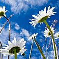 Close-up Shot Of White Daisy Flowers From Below by Stephan Pietzko