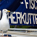 Closeup Of A Seagull On A Fisher Boat  by Nick  Biemans