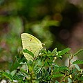 Clouded Sulphur Butterfly by Maria Urso