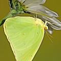 Cloudless Sulphur Butterfly by Millard H Sharp
