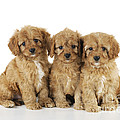 Cockapoo Puppy Dogs by John Daniels