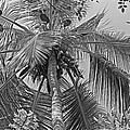 Coconut Palm by Tony Murtagh