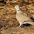 Collared Dove by Chris Day