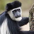 Colobus Monkey by John Shaw