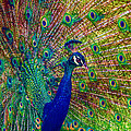 Colorful Peacock by Jerry Gammon