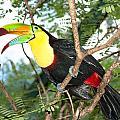 Colorful Toucan by Joe Belanger