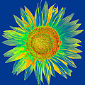 Colourful Sunflower by Roy Pedersen