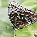 00011 Common Blue Morpho  by Photographic Art by Russel Ray Photos
