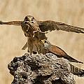 Common Kestrel Falco Tinnunculus by Eyal Bartov