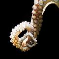 Common Octopus, Octopus Vulgaris by Henrik Sorensen