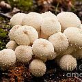 Common Puffball Mushrooms Lycoperdon Perlatum by Stephan Pietzko