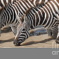 Common Zebras Drinking Water by John Shaw