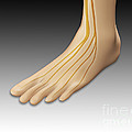 Conceptual Image Of Human Foot by Stocktrek Images