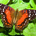 Coolie Butterfly by Millard H. Sharp
