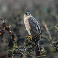 Coopers Hawk by Brian Williamson