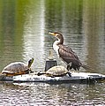 Cormorant And Turtle Duo by Jeanne Kay Juhos