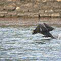 Cormorant Water Takeoff by Roy Williams