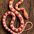 Corn Snake P. Guttatus On Tree Bark by David Kenny