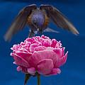 Count Bluebird by Jean Noren