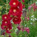 Country Garden by Cheryl Baxter