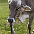 Cow In Heiterwang by Radka Linkova