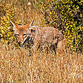 Coyote In Rocky Mountain National Park by Fred Stearns