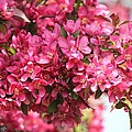 Crabapple Tree Named Prairiefire by J McCombie