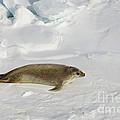 Crabeater Seal, Antarctica by John Shaw