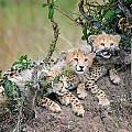 Curious Kittens by Cheryl Schneider