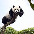 Cute Young Panda by King Wu