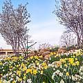 Daffodil Hill by Susan Cole Kelly